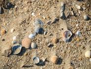 Ракушки на пляжах Благовещенской