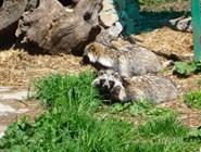 Енотовидные собаки в Тебердинском заповеднике