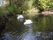 Лебеди в Тебердинском заповеднике