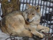 Волк в вольере Тебердинского заповедника