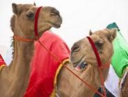 Верблюды на фестивале в Аль-Гарбии