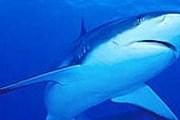 Акула. Фото: beseder.co.il