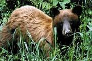 Бурый медведь. Фото: wdfw.wa.gov