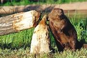 'Спаси дерево! Убей бобра!' // GettyImages