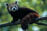 Красная панда. Фото: GettyImages