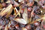 Широкозадые  муравьи. Фото: hormigasculonas.com