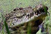 Крокодил. Фото: Reuters