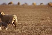 Австралийские овцы на пастбище. // GettyImages