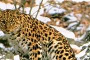 Дальневосточный леопард. // fegi.ru