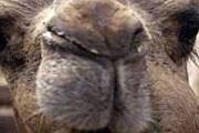 Верблюды будут участвовать в конкурсе красоты. // slivki.tritiumnet.org