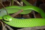 Укус зеленой мамбы может быть смертельным. // igwala.com