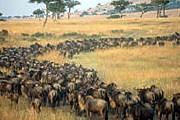 1,5 млн антилоп гну мигрируют, преодолевая огромные расстояния. // otpusk.com