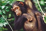 Остров-заповедник всегда открыт для путешественников, интересующихся жизнью шимпанзе. // sciam.ru