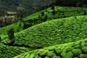 Чайная плантация в Керале. // pixelmaze.ca
