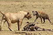 Лицом к лицу с дикой природой - в парках Кении. // olevka.photosight.ru
