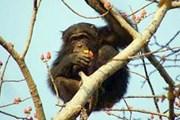 Сенегальский шимпанзе // Lenta.ru