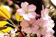 В Японии в пик цветения сакуры пошел снег. // mountain.ru