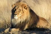 Львов в Индии - все меньше. // wikipedia