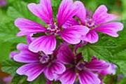 Туристы смогут самостоятельно собирать растения. // aromaticadianese.com