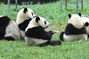 Маленькие панды в заповеднике. // china.cn