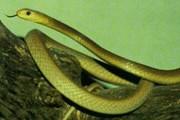 Тайпан - самая опасная в мире змея. // survivaliq.com