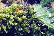 "Водоросль-""агрессор"" Caulerpa sertularioides. // chekjawa.nus.edu.sg"