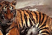Несмотря на усилия властей Индии, популяция тигров сокращается. // zooclub.ru