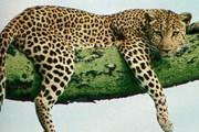 В Армении осталось всего 5-8 особей этого вида. // leopard.know-library.net