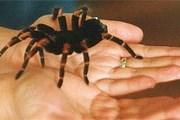 Блюдо из тарантула - дешево и сердито. // adventureliving.com