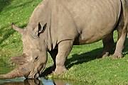 Носорог без рога имеет больше шансов выжить. // zmmu.msu.ru
