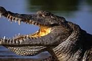 Этот милый крокодильчик живет в Гане. // GettyImages