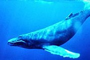Горбатый кит // wikimedia.org