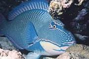 Ценная рыба-попугай // scubaclass.ru