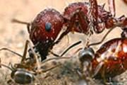 Аргентинские муравьи - теперь не редкость в Голландии. // membrana.ru