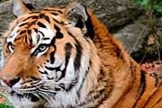 Посмотреть на «последнего» тигра захотят множество туристов. // outdoors.ru