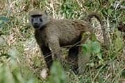 Голодные обезьяны могут покалечить людей. // wildrussia.spb.ru