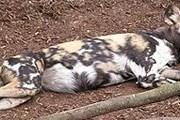 Еще недавно гиеновидные собаки жили почти в 40 странах Африки. // Wikipedia