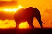 Пустынные слоны уникальны. // ami-tass.ru