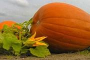 В дни праздника тыквы можно встретить повсюду. // bio-gaertner.de