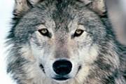 Волк – символ ижевского зоопарка. // nnm.ru