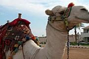 Верблюдов в Египте хватит на всех. // Travel.ru
