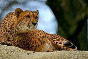 За гепардами можно будет наблюдать в интернете. // adventurephoto.biz