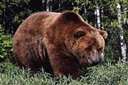 Туристам придется подождать, пока медведи залягут в спячку. // ami-tass.ru