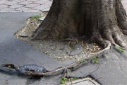 Деревья разрушают тротуары города. // activerain.com