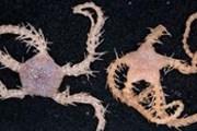 Неизвестные ранее разновидности Ophiacantha brittlestar. // wildlifeextra.com