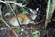 Это первый снимок оленя-мунтжака на Суматре. // FFI/KSNP