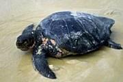 Товары из черепаховых панцирей весьма популярны у туристов. // ami-tass.ru