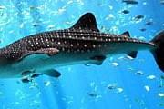 Китовые акулы – крупнейшие в мире. // wikimedia.org