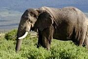 Популяция слонов сократилась втрое. // wikipedia.org