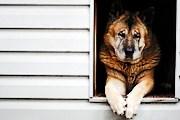 Собак размещают в специальных домиках. // GettyImages/Peeter Viisimaa
